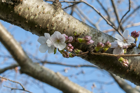 began: Yoshino cherry tree that was inflated buds began to bloom finally
