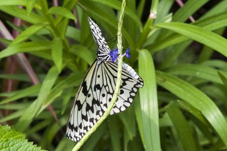 Big Butterfly butterfly suck nectar of Futobonababosou