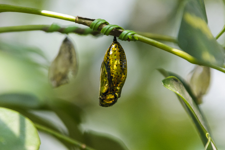pupae: Of butterfly butterfly pupae Stock Photo