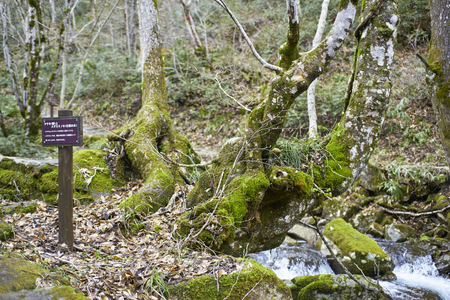 coalesce: Zelkova and Acer Maximowiczianum coalesce
