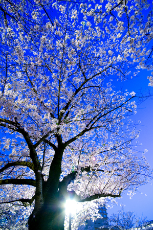 lightup: Light-up has been going to see cherry blossoms at night
