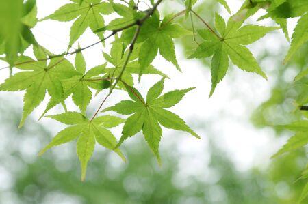 緑のカエデ