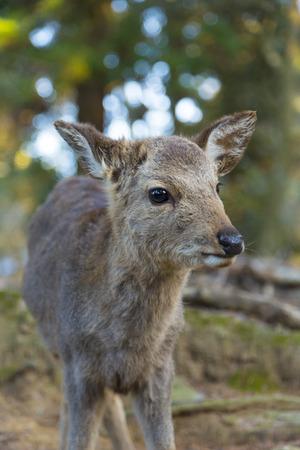 fawn: Fawn of Nara Park Stock Photo
