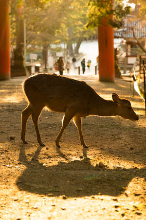 toge: Deer to shine in the setting sun