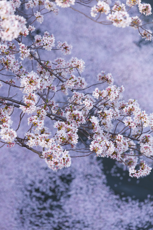full      bloom: Petals of cherry blossoms in full bloom and the river Stock Photo
