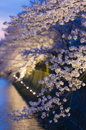hydrophobic: Cherry blossoms of Okazaki hydrophobic