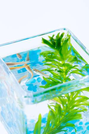 waterweed: Glass fish