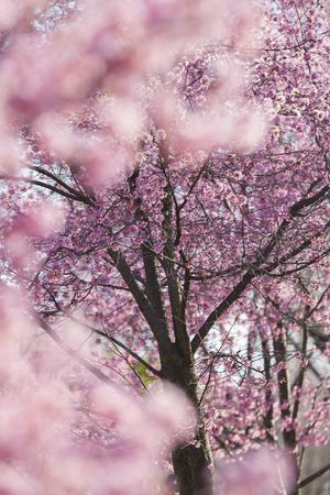bloom: Okamzakra in full bloom