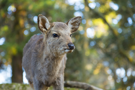 animal only: Fawn of Nara Park Stock Photo
