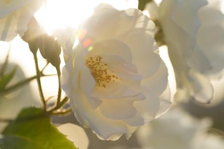 setting sun: White rose against the setting sun