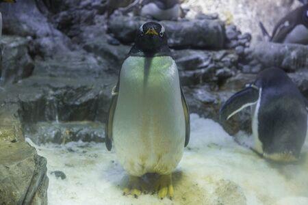gentoo penguin: Gentoo Penguin Stock Photo