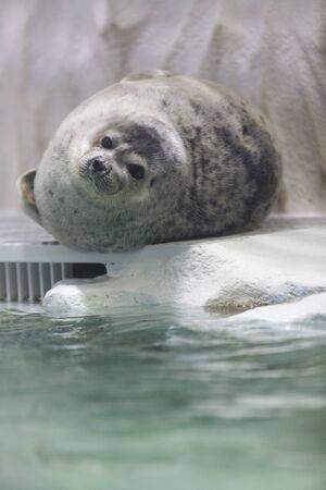 ringed: Ringed seal