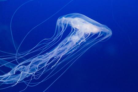 plankton: Chrysaora quinquecirrha