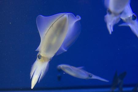 Oval squid sepioteuthis lessoniana