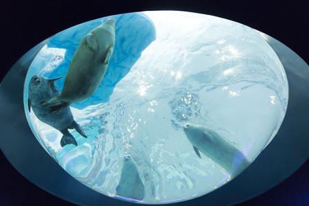 ringed: Ringed Seal of Kaiyukan
