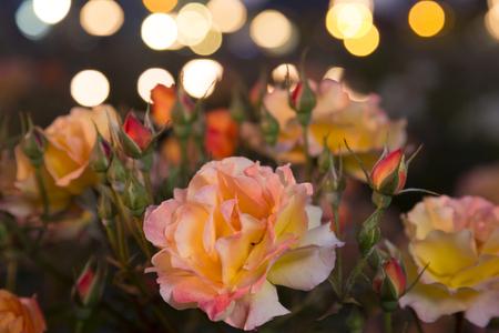 rosas naranjas: Rosas anaranjadas jardín de rosas Foto de archivo