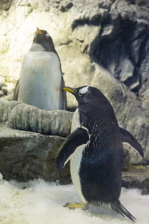 gentoo: Gentoo penguin pair