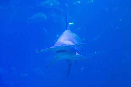 hammerhead: Hammerhead shark