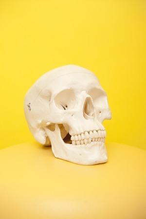 頭蓋骨モデル 写真素材