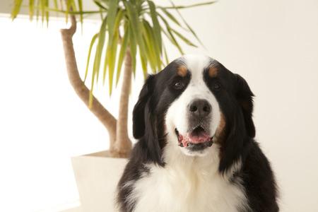 bernese dog: Bernese mountain dog