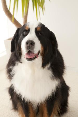 bernese mountain dog: Bernese mountain dog