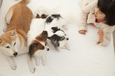 futon: Shiba Inu and Papillon two dogs and girls that entered the futon Stock Photo