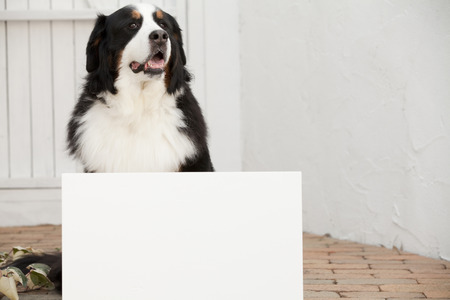 bernese dog: Message boards and Bernese Mountain dog