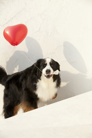 sucks: Red balloons and Bernese Mountain dog