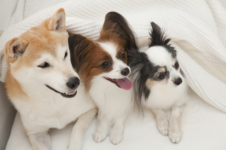 entered: Shiba Inu and Papillon two dogs that entered the futon