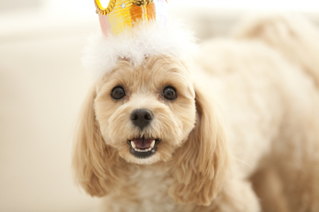 poodle mix: Marupu it wearing a crown
