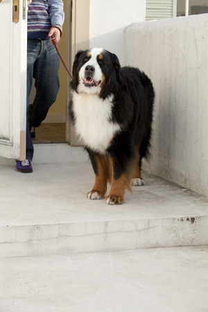 bernese mountain dog: Bernese Mountain dog to go out for a walk Stock Photo