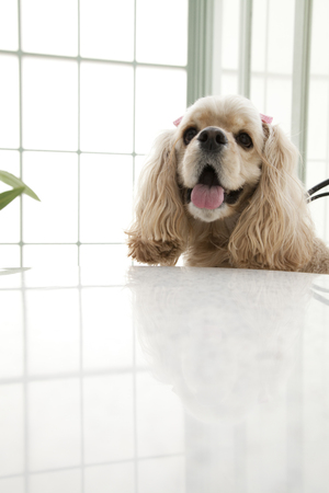 american cocker spaniel: American Cocker Spaniel sitting on a Chair