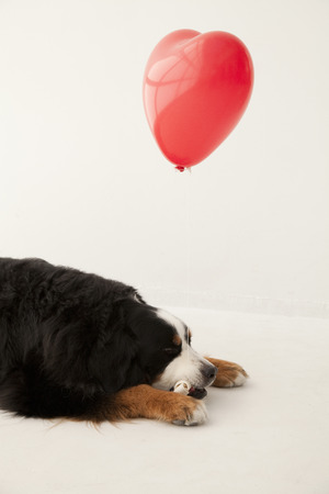 bernese mountain dog: Heart of the balloon and the Bernese Mountain Dog Stock Photo