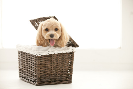 poodle mix: Marupu entering the basket
