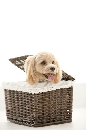 poodle mix: Marupu entering the basket