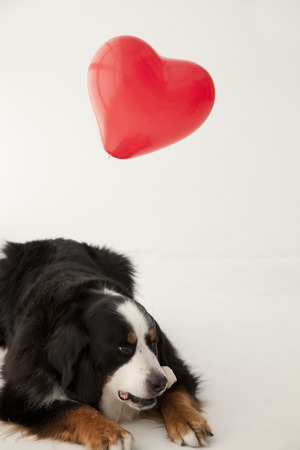 bernese dog: Heart of the balloon and the Bernese Mountain Dog Stock Photo