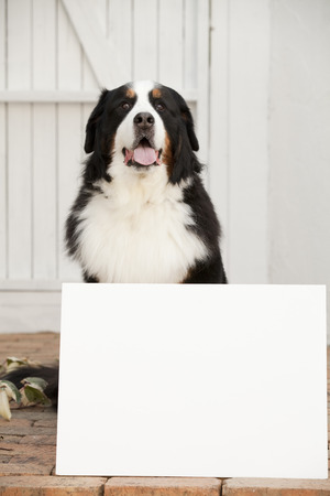 bernese mountain dog: Message boards and Bernese Mountain dog