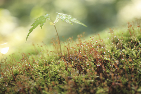 Maple Leaf and MOSS 写真素材