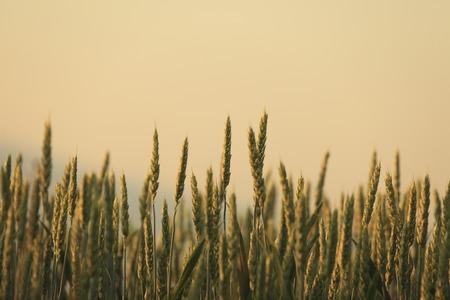 Wheat field of the sun rises tomorrow morning glow