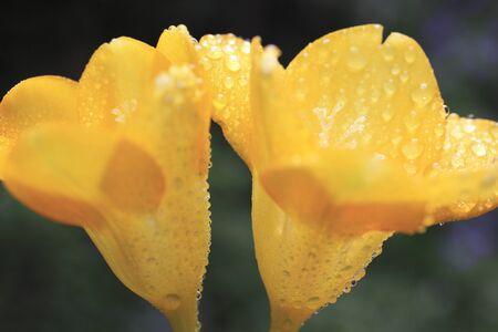 freesia: Freesia flower in water