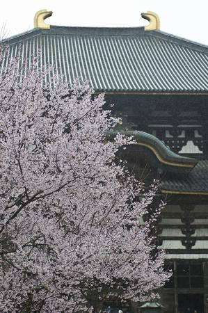 todaiji: Cherry blossoms in Todai-ji Temple