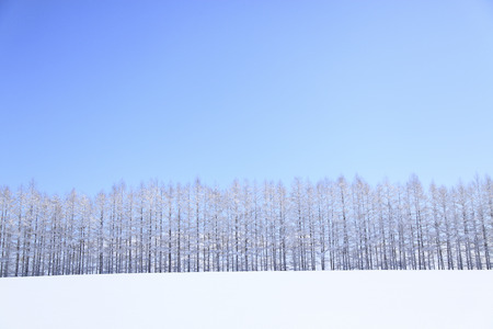 accretion: Larch windbreaks that snowfield of snow accretion Stock Photo