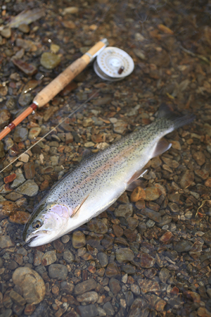 flyfishing: Rainbow Trout fished