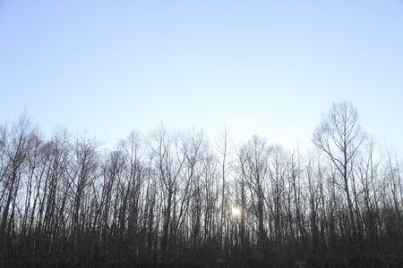 arbres silhouette: Les arbres silhouette