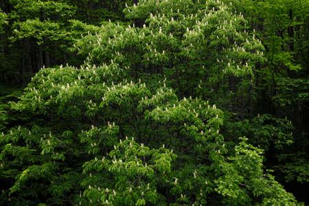 chubu: Horse chestnut flowers