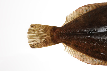 caudal fin: Tail fin of turbot