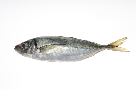 And horse mackerel in white back