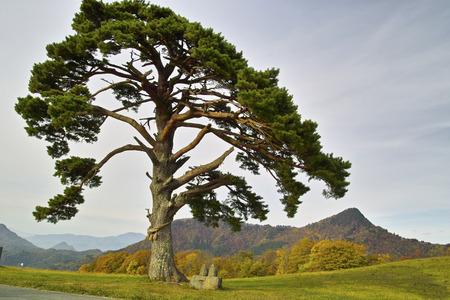 Pine Imagens