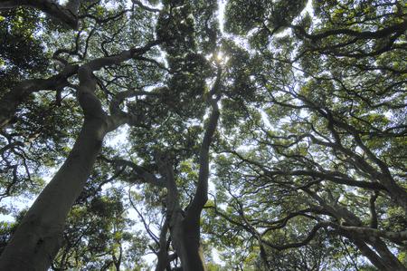chubu: Laurel forest