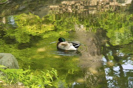 aquatic herb: Aizu